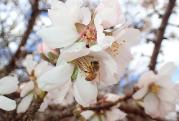 Ag Dynamics engaged for Almond IPM and IDM...