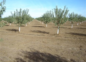 Young almond orchard, California