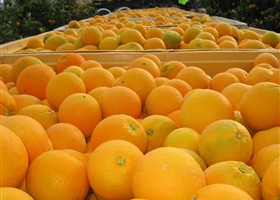 Navel oranges ready for packing