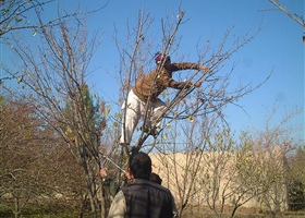 Pruning apricot trees, Afghanistan